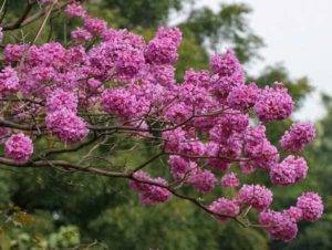 Lapacho strom