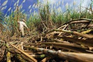 Plantáž cukrové třtiny
