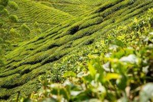 Černý čaj a zdraví