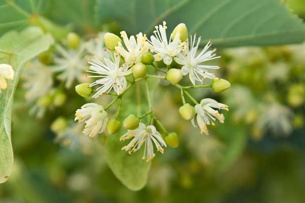 Lipový květ léčivé účinky