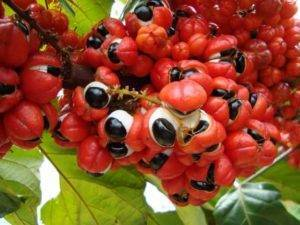Guarana účinky