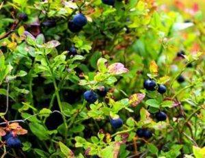 Borůvkové listí léčebné účinky