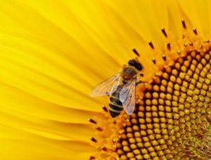 Apisin (včelí jed účinky)